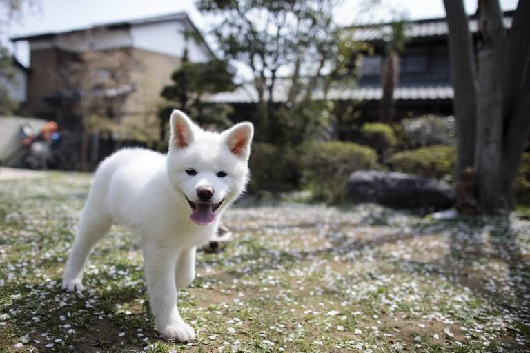 Akita Dog Personality