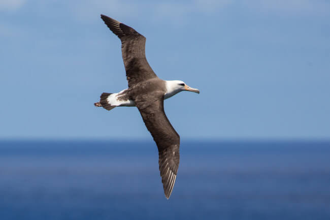 Albatross Can Go Years Without Touching Land