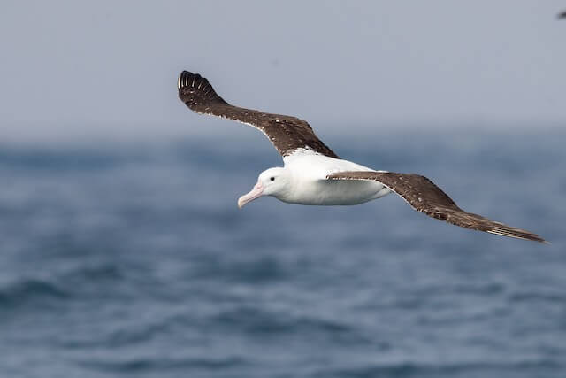 Albatross Can Live and Raise Chicks into Their 60s