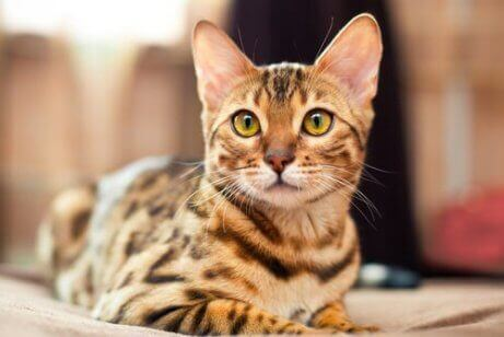 Photo of Why Does My Bengal Cat Attack Me – Dealing with  Behavior