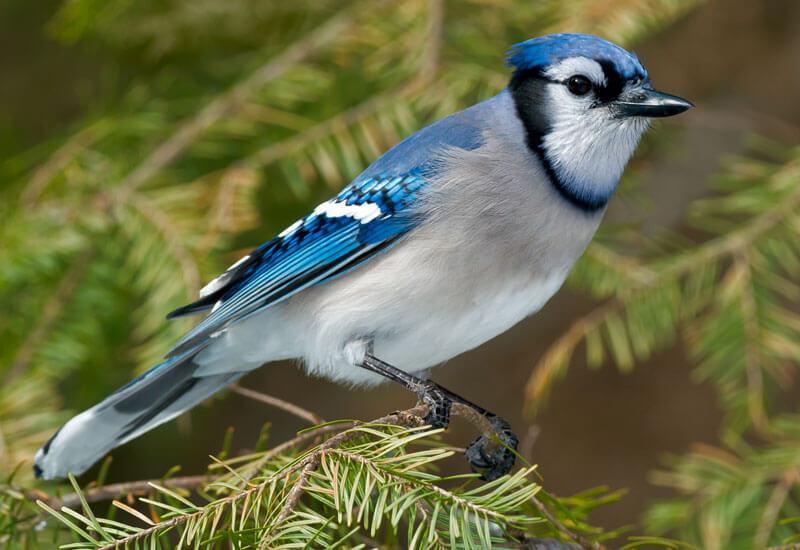 Blue Jay Habitat