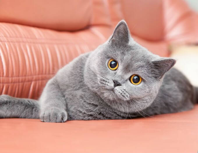 Photo of 7 Ways to Keep your British Shorthair Cat Healthy and Happy
