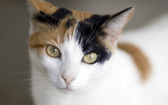 Photo of 5 Fascinating Things Calico Cats you Should Know About