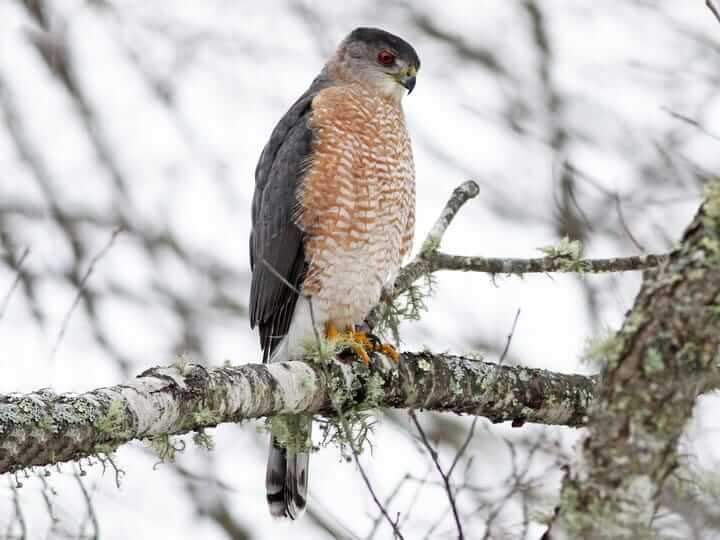 Cooper's Hawk and Human Interaction