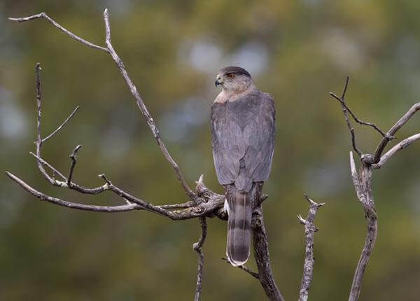 Photo of Cooper's hawk Life History