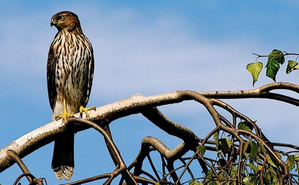 Depiction of the Cooper's Hawk