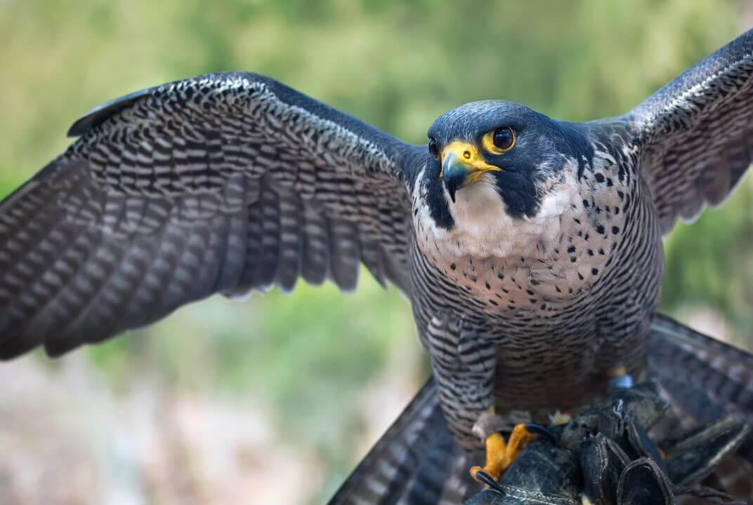 Falcons birds