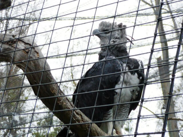 Harpy Eagle At The Zoo