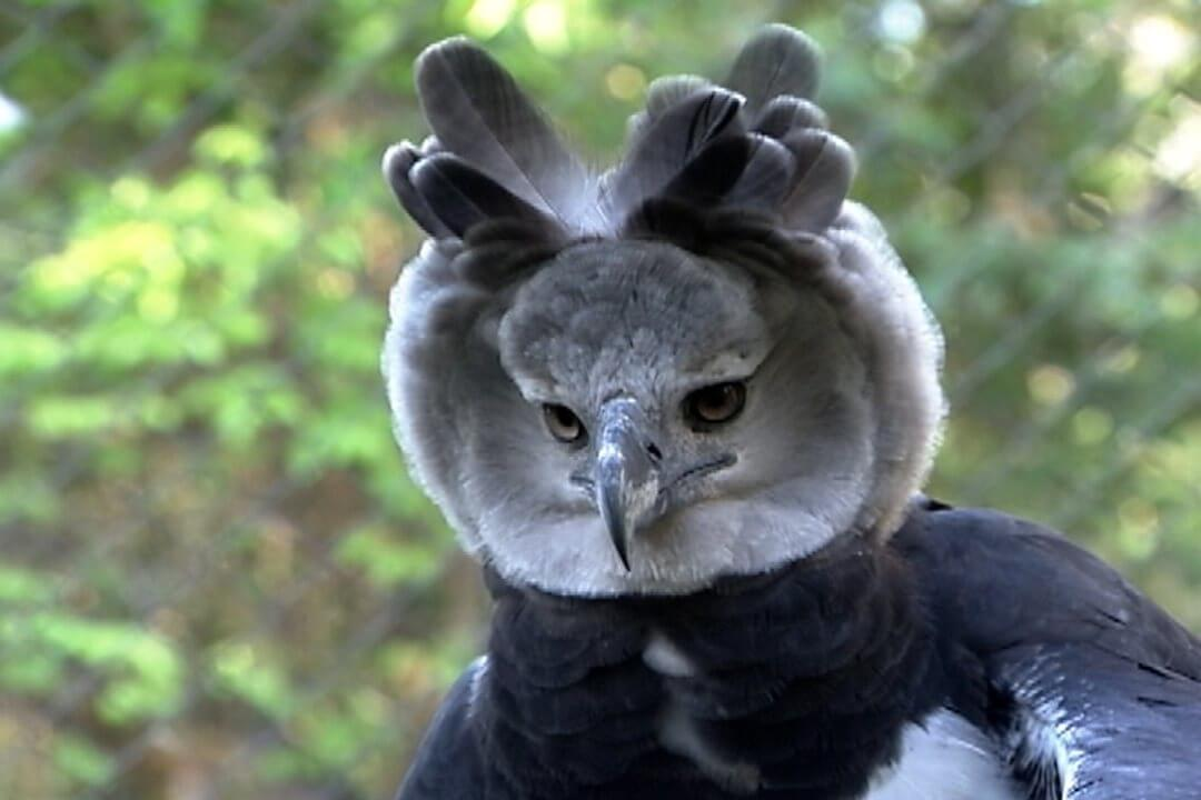 Harpy Eagle coversation