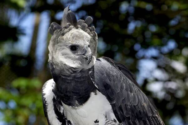 Photo of Harpy eagle San Diego Zoo Animals & Plant