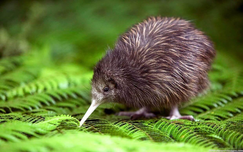 Kiwis and Extinct Birds