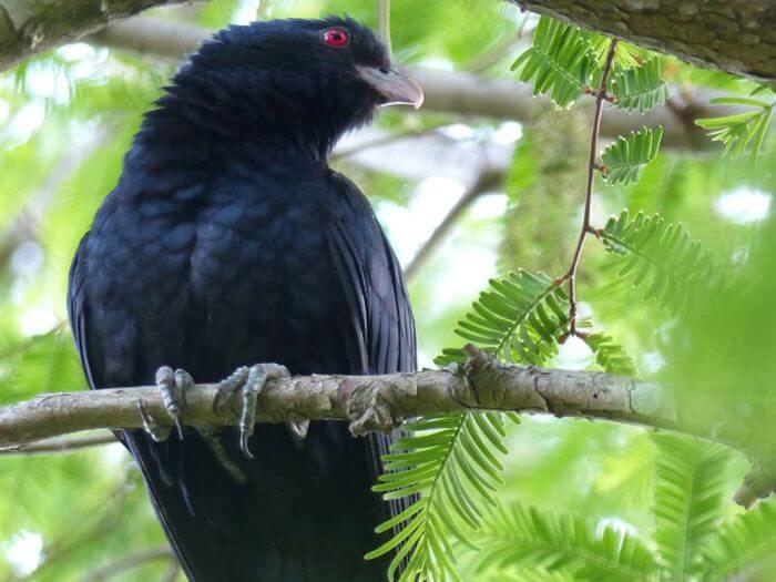 Koels birds