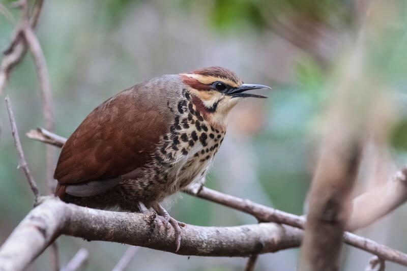 Mesites birds