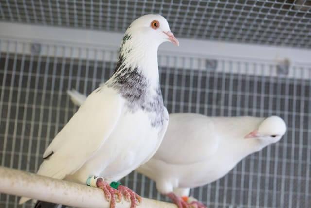 Pigeons and Dodos birds
