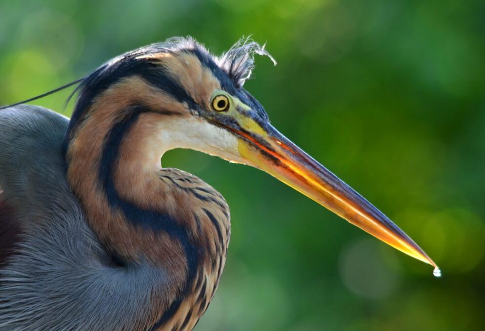Storks, Herons, and Vultures birds