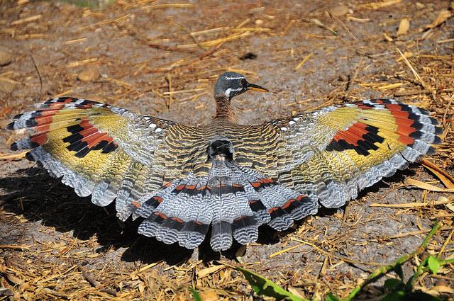 Sunbitterns birds