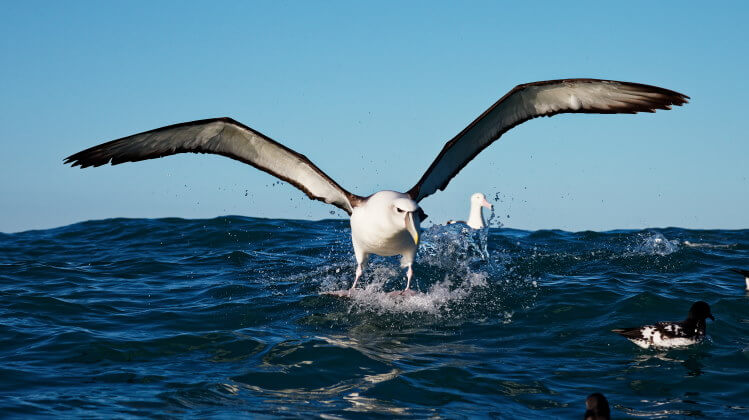 The albatross Has the Largest Wingspan of Any Living Bird