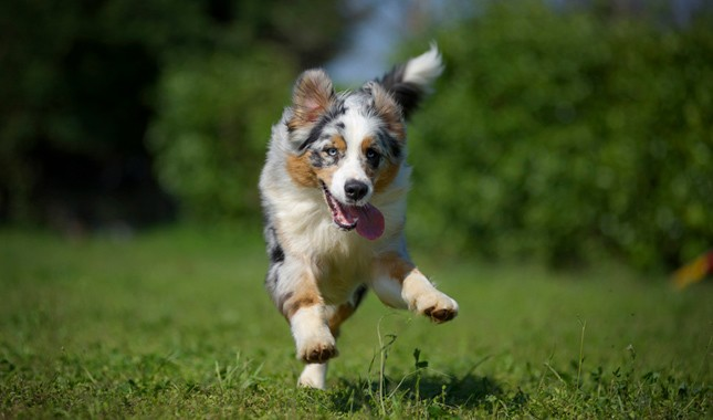 Photo of What are Australian Shepherd Puppy like?