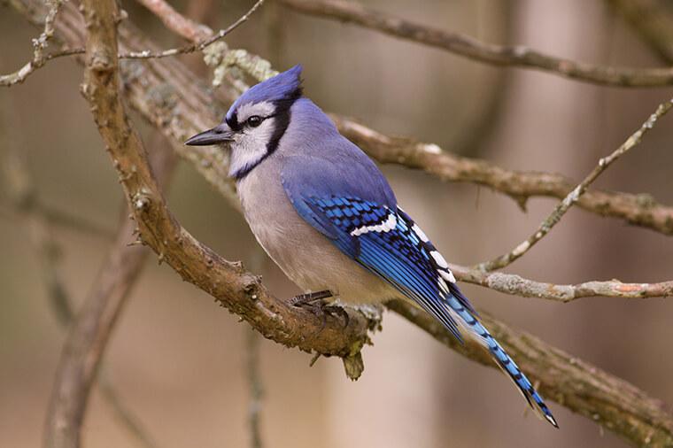 blue jay grayish underside