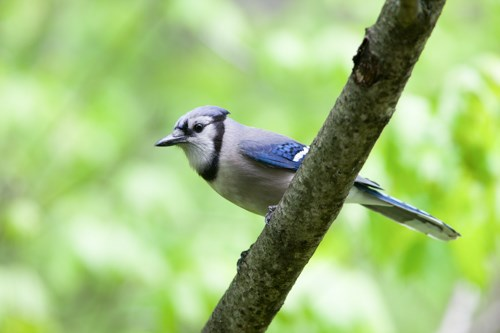 Photo of Are Blue Jay good to have around?