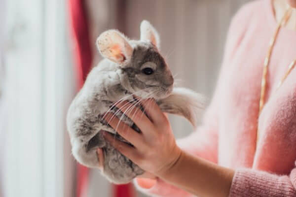 Photo of Fun Facts About Chinchilla