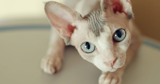 Photo of 6 Hairless Cat Breeds Peterbald – Bambino –  Sphynx – Ukrainian Levkoy etc