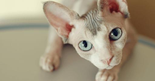 Photo of 6 Hairless Cat Breeds Peterbald – Bambino – Sphynx – Ukrainian Levkoy etc