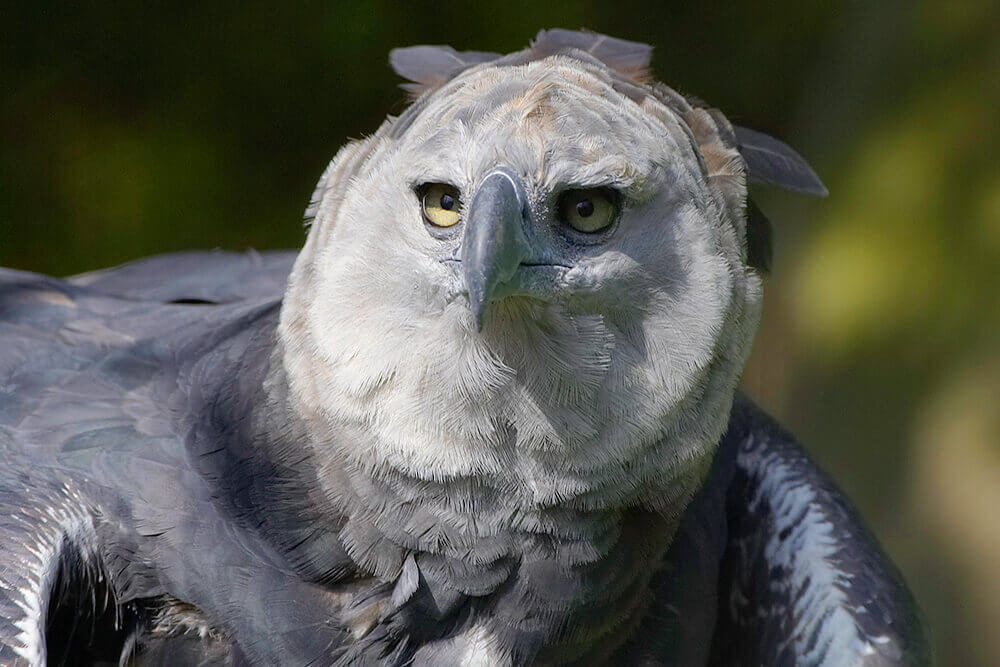 harpy eagle HABIT AND DIET