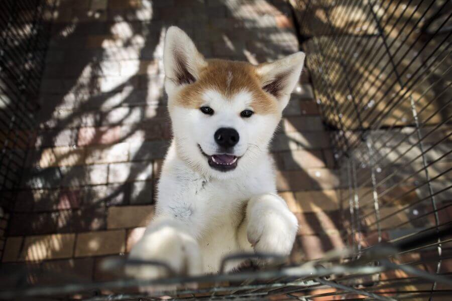 history of akita dog