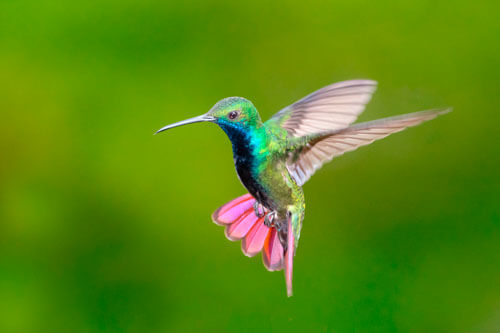 Photo of Which country has the most species of hummingbird?