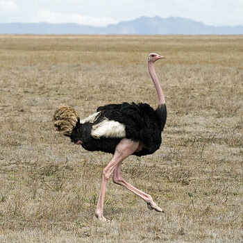Photo of Where do ostrich live?