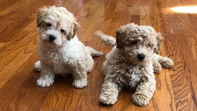 Photo of 8 Things to Know about the Miniature Golden doodle (Mini Goldendoodle)