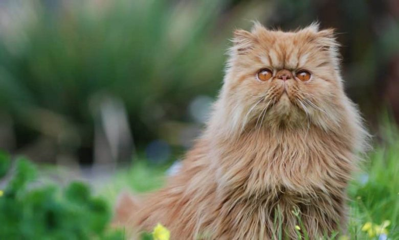 Photo of 7 Stunning Persian Cat large eyes, and long, rich coats.