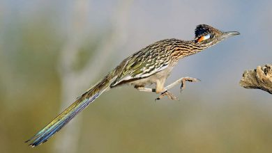 Photo of Roadrunner facts for kids a variety of ground cuckoos.