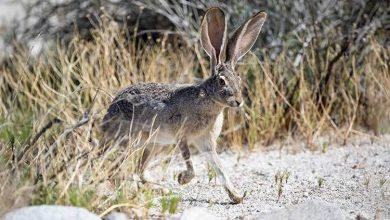 Photo of Jackrabbit, Description, Diet, Habit and Interesting