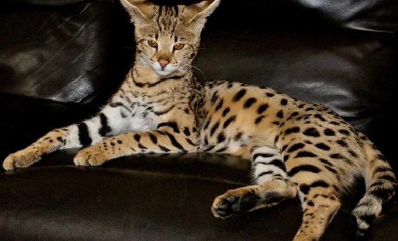 Photo of Savannah Cat ( History, Appearance, Personality, Health, & Care) and 10 Constructive facts